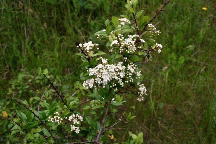 Una <strong>pyracantha</strong> coccinea in fiore