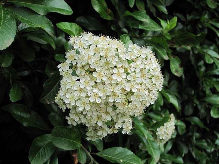 Un fiore della pyracantha coccinea