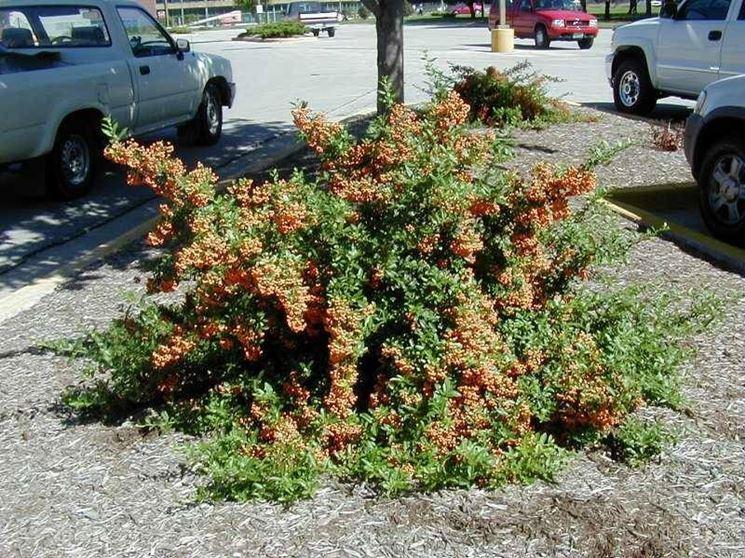 Un arbusto di pyracantha coccinea con le bacche rosse