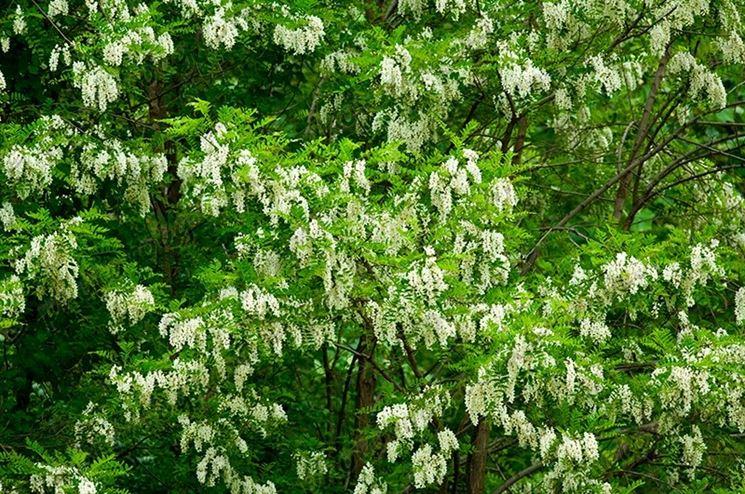 Rami verdi fioriti