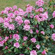 Pianta rododendro