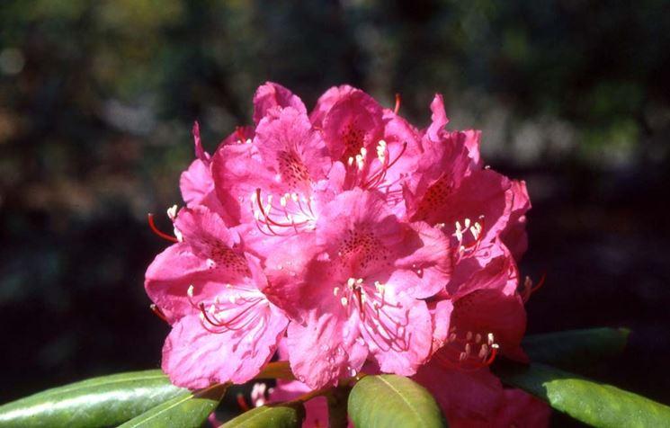 fiore rododendro