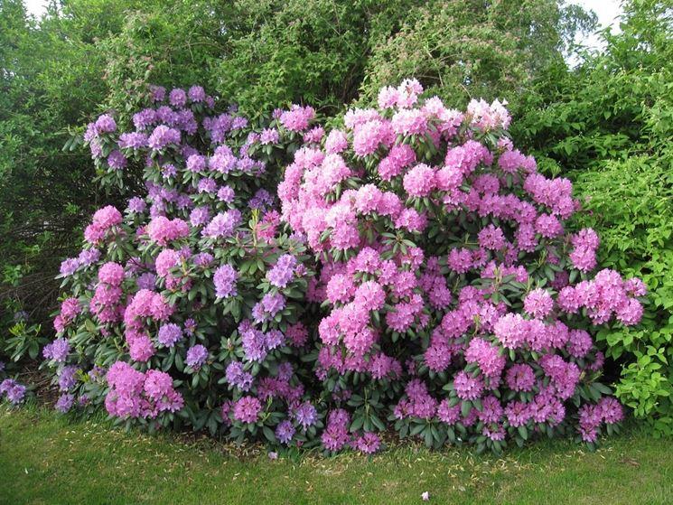 Pianta rododendro fiorita