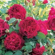 Rosa William Shakespeare 2000