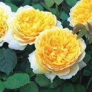 rose inglesi