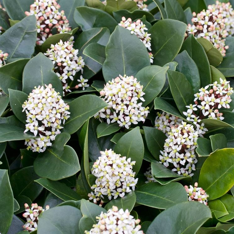 Skimmia japonica fioritura