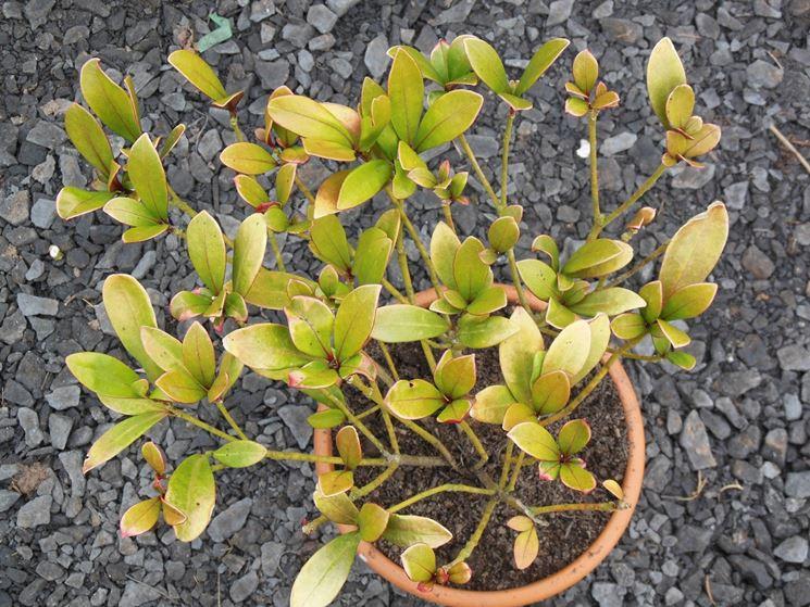 Ingiallimento foglie skimmia