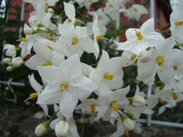 Fiore ornamentale solano