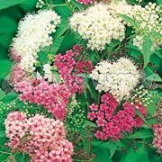 Fiori di <em>spiraea</em> japonica