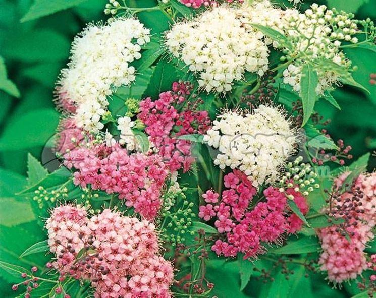 Fiori di spiraea japonica