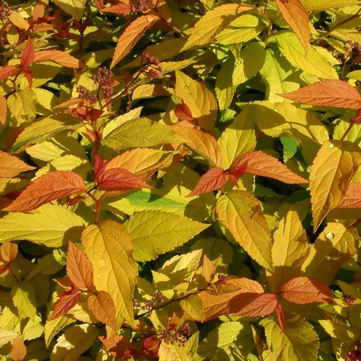 Spiraea japonica in autunno