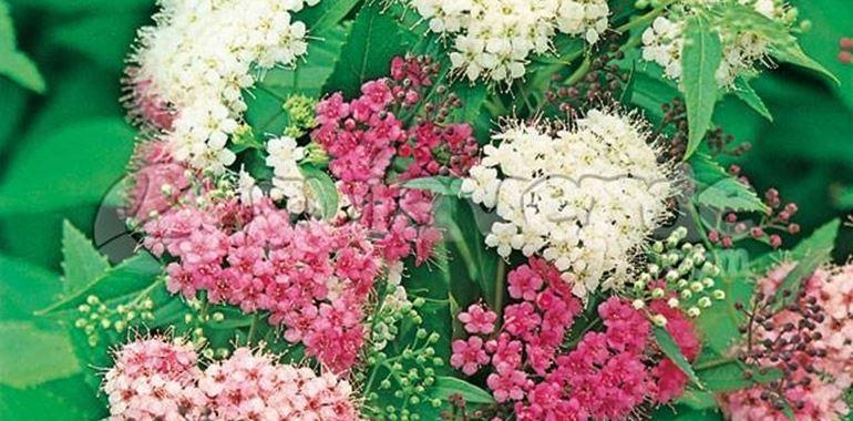 <h6>Spiraea japonica</h6>Vuoi conoscere la Spiraea japonica, le sue variet� e le sue caratteristiche? Leggi questo articolo