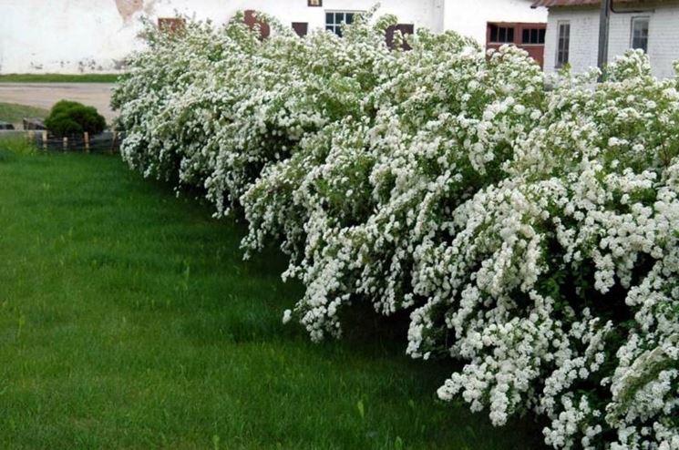 Spiraea piante da giardino caratteristiche della spiraea - Siepi ornamentali da giardino ...