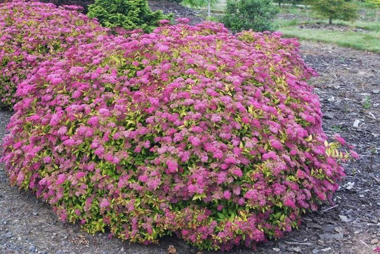Spiraea piante da giardino caratteristiche della spiraea - Piante basse perenni da giardino ...