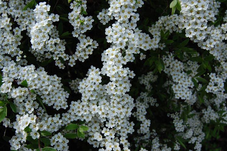 Una fioritura di spiraea thunbergii