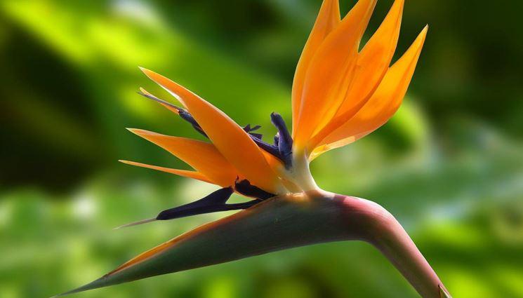 Fiore Strelitzia reginae