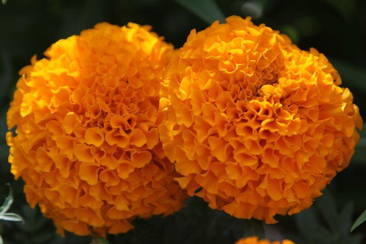 Coppia tagete arancioni