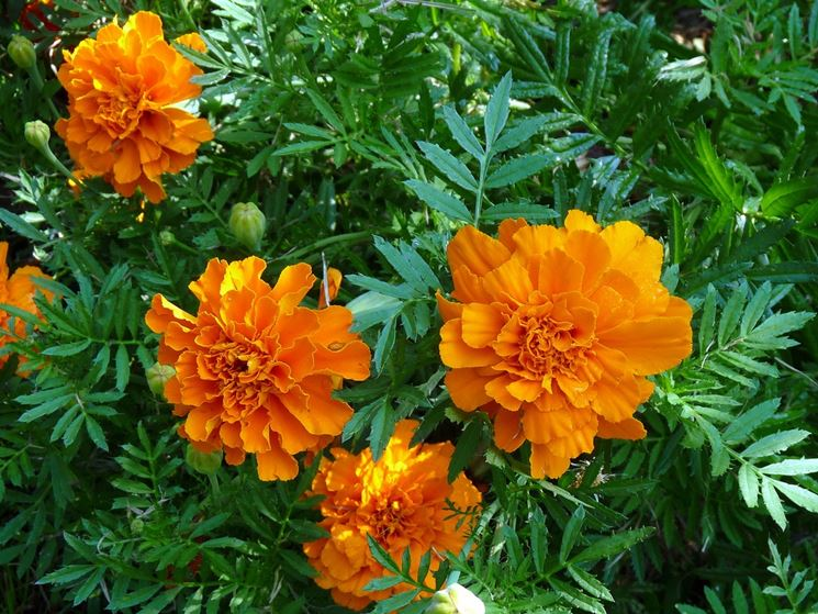 Tagete fiore