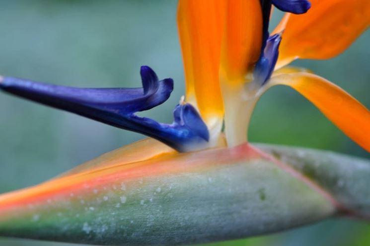 strelitzia reginae: particolare dell'attacco fiorale