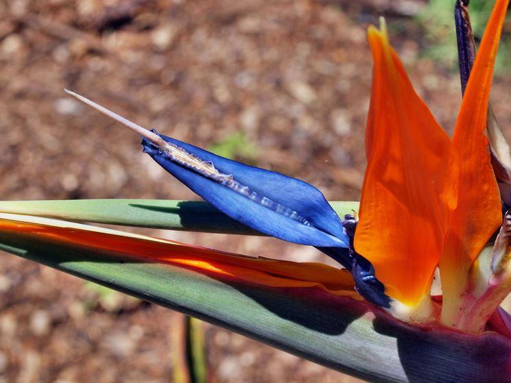 Uccello del paradiso: particolare della corolla