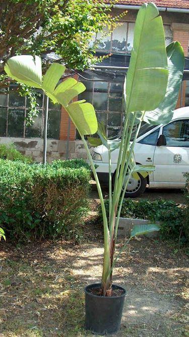 Le grandi foglie della strelitzia nicolai