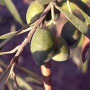 Esempio di frutti della pianta di ulivo.