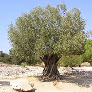 Ulivo pianta - Piante da Giardino - Ulivo pianta