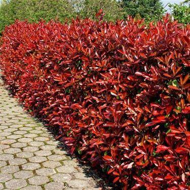 Le foglie della photinia assumono in primavera una colorazione rossa molto viva.