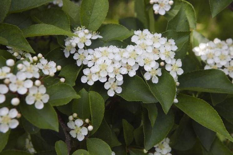 una siepe di photinia in giardino - piante da giardino - perchè ... - Siepe Da Giardino Piccolo