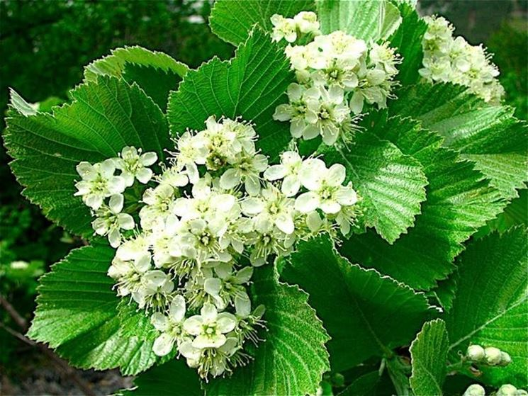 Viburnum lantana piante da giardino viburnum lantana for Fiori sempreverdi da giardino