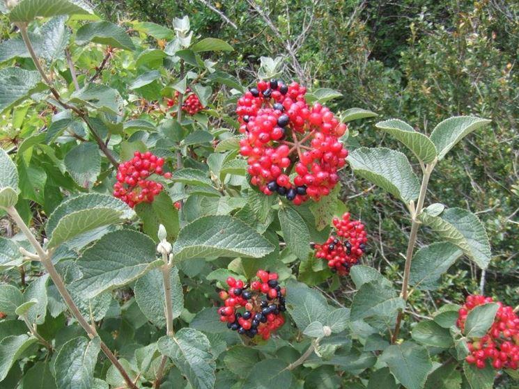 Frutti di viburnum
