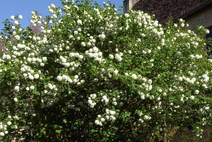 Viburnum lantana in giardino