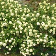 Cespuglio di viburnum opulus