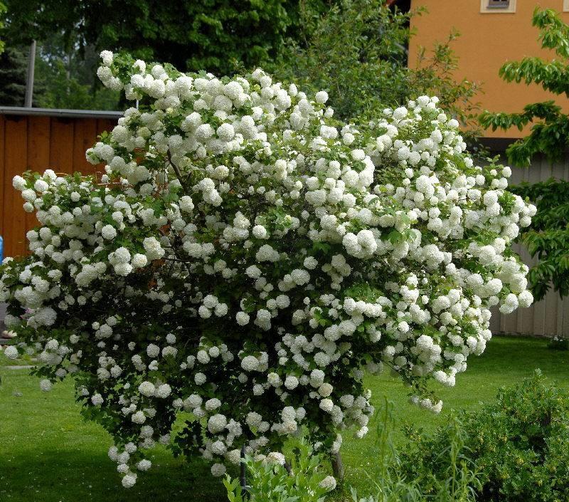 viburnum opulus piante da giardino come coltivare il. Black Bedroom Furniture Sets. Home Design Ideas