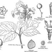 Disegno botanico del viburnum tinus