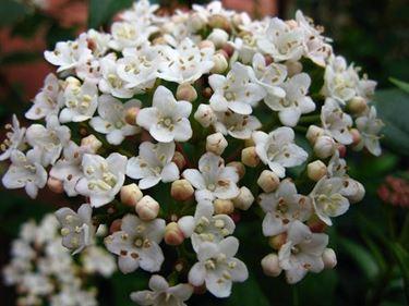 I fiori del viburnum tinus