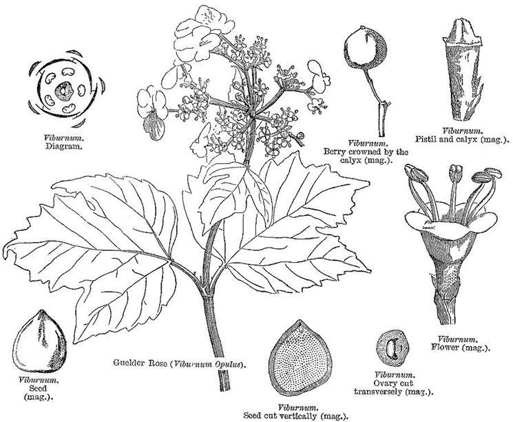 Disegno botanico del <strong>viburnum</strong> tinus