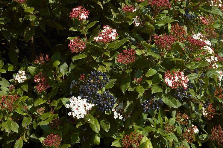 Bacche e fiori di viburnum tinus