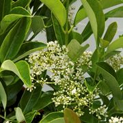 viburno pianta
