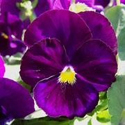 Viole fiore