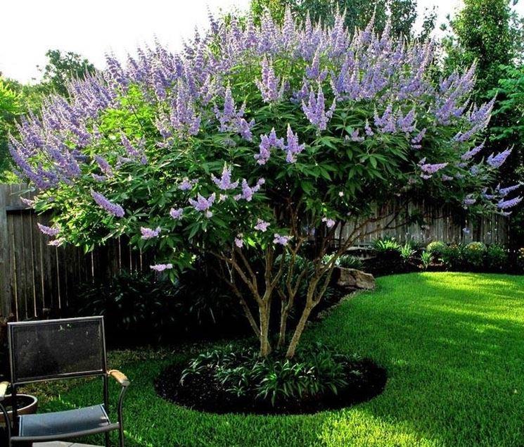 Vitex agnus-castus dai fiori lavanda