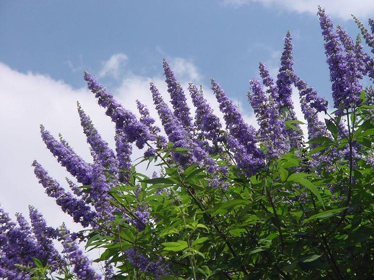Particolare dei fiori di vitex agnus-castus