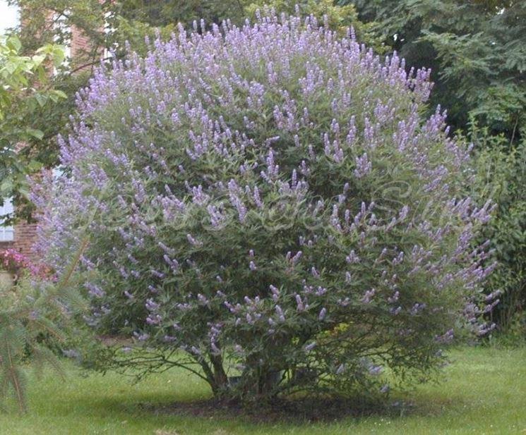Esempio di vitex agnus-castus dai fiori blu