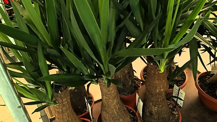 Yucca vaso