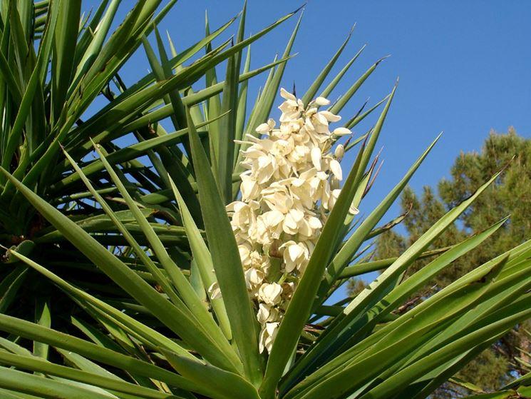 Yucca elephantipes fiore