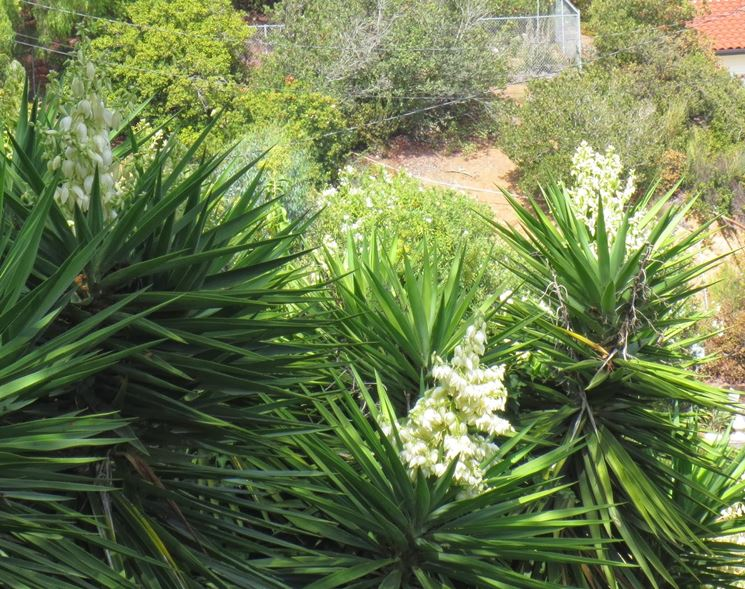Yucca piante