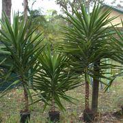 yucca potatura
