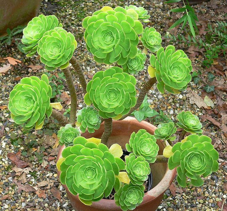 aeonium piante grasse coltivazione eonio. Black Bedroom Furniture Sets. Home Design Ideas