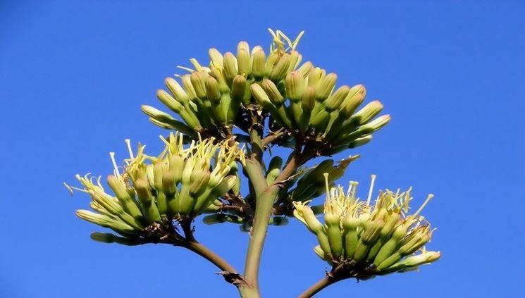 La singolare infiorescenza dell'agave