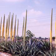 agavi in fiore